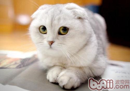 折耳猫繁殖注意事项-猫咪繁殖